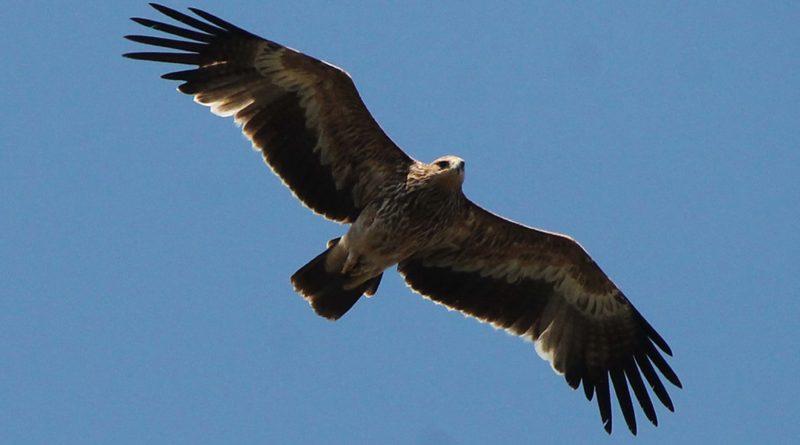 «Птица сама ползла к машине»: степной орел попросил помощи у нефтяников