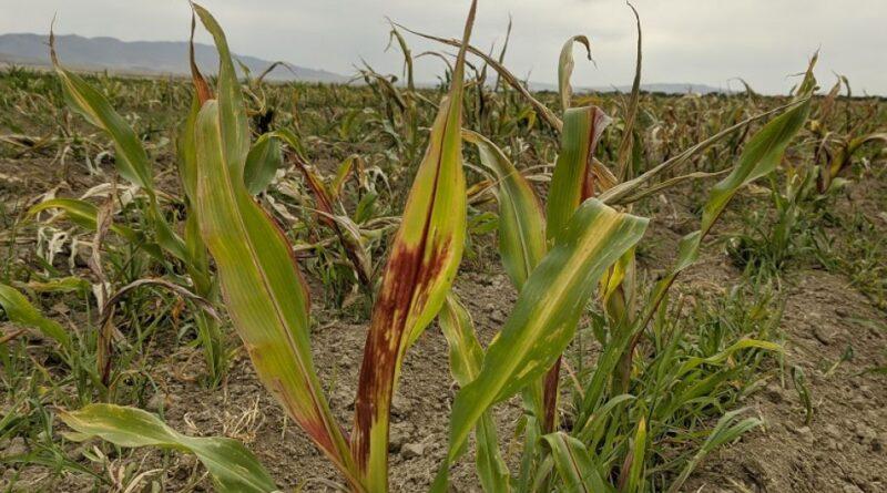 В Алматинской области фермер из-за гербицидов лишился урожая
